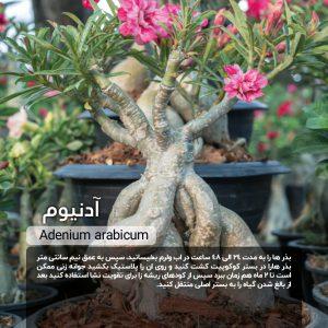 Adenium-arabicum