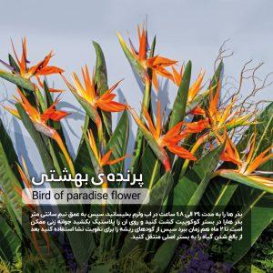 Bird-of-paradise-flower